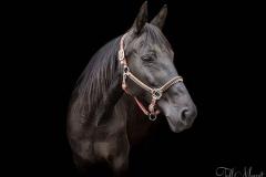 13hands_horse_jade